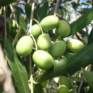 虫食いが少ない有機栽培エキストラバージンオリーブオイルの畑の実