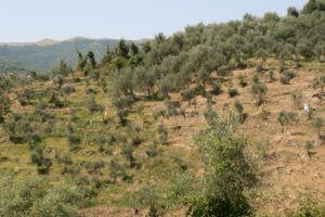 ブルーナ家のタジャスカオリーブの有機栽培農園