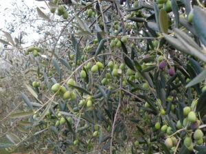 完熟した収穫期のタジャスカ種のオリーブ