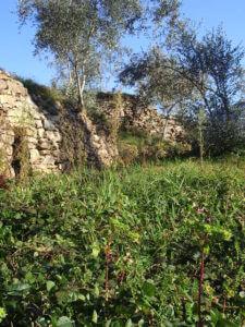 有機栽培エキストラバージンオリーブオイルの畑