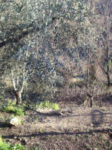 除草剤を多く使用しているオリーブオイル畑