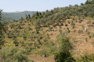 夏の有機栽培エキストラバージンオリーブオイルの畑草刈りの様子