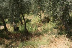 夏の有機栽培エキストラバージンオリーブオイルの畑