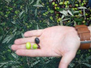 収穫したオリーブの実