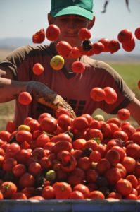 raccolta pomodori 5